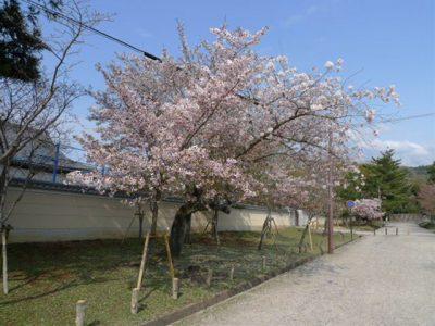 転害門近くの桜
