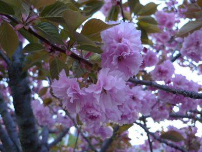 造幣局桜の通り抜けの桜1
