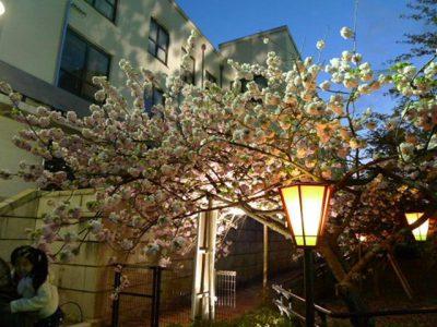 造幣局桜の通り抜けの桜2