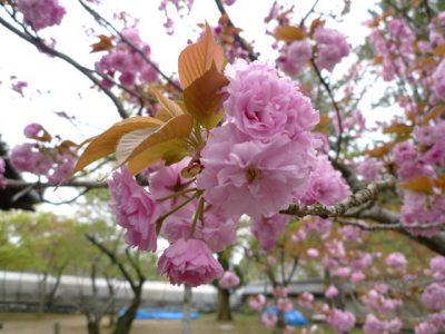 金剛寺の八重桜