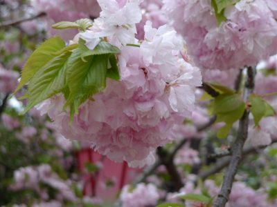 造幣局桜の通り抜け 小手毬