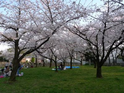 陸軍墓地の桜