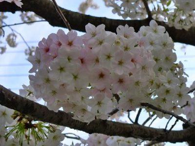 岡崎公園近くの桜