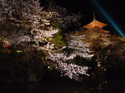 清水寺夜間拝観での桜