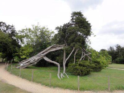 トリアノンの庭にある枯れてるようで枯れてない木