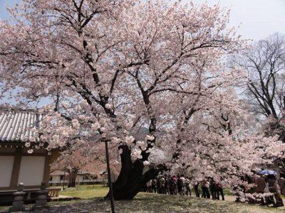 醍醐寺の桜2