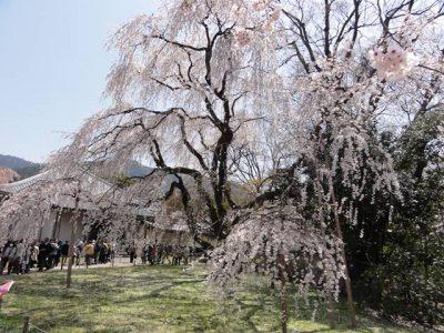 醍醐寺の桜3