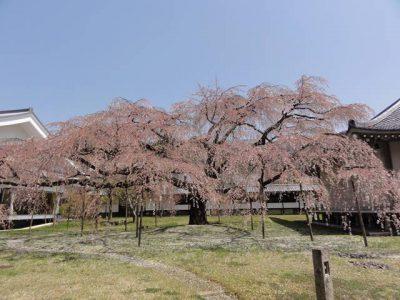 醍醐寺の桜4