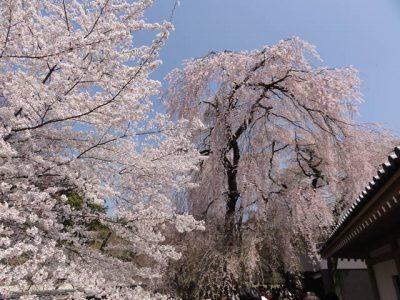 醍醐寺の桜5
