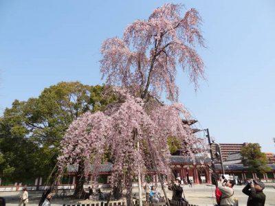 四天王寺の枝垂れ桜