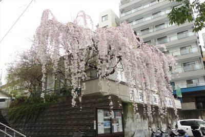 天理教のところの枝垂れ桜